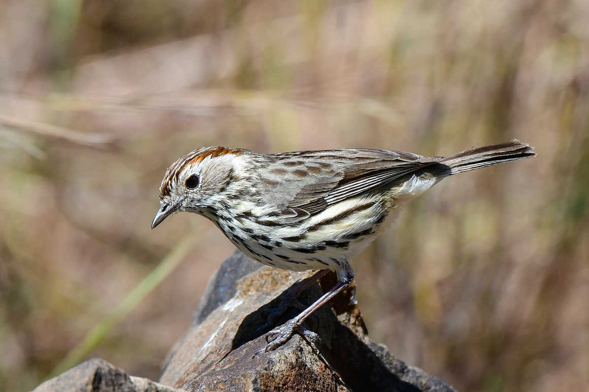 Speckled Warbler (Image ID 27478)