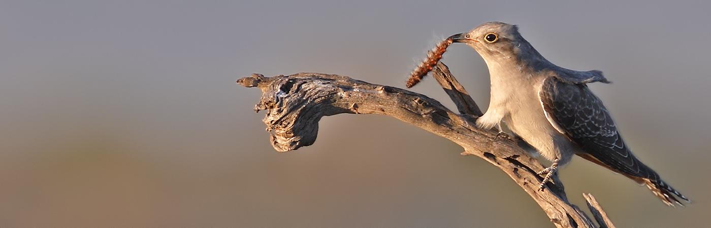 Pallid Cuckoo (Image ID 27299)