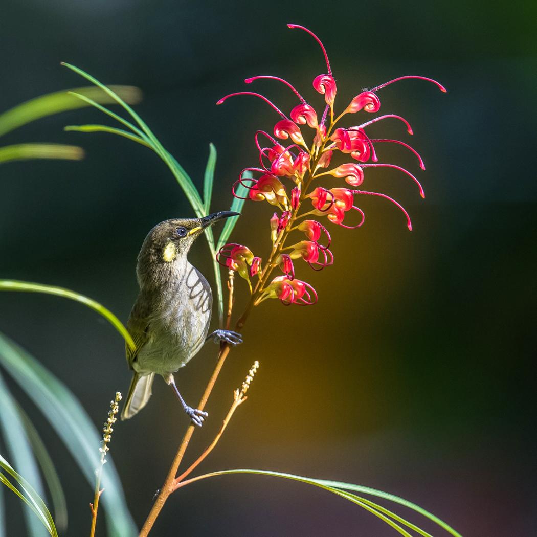 Graceful Honeyeater (Image ID 27362)