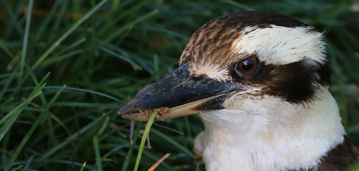 Laughing Kookaburra (Image ID 27574)