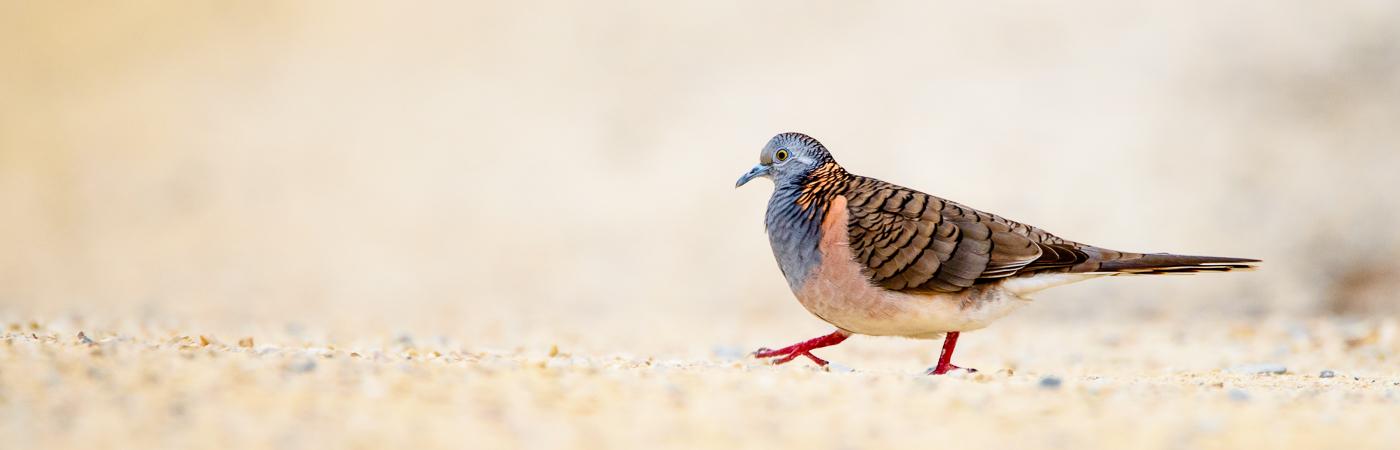 Bar-shouldered Dove (Image ID 27608)