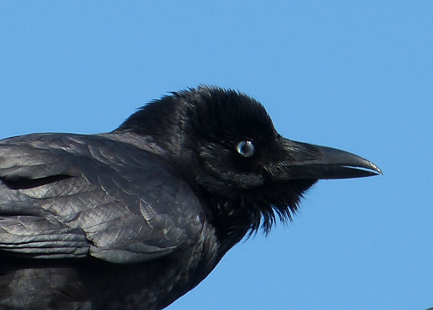 Little Raven (Image ID 27623)