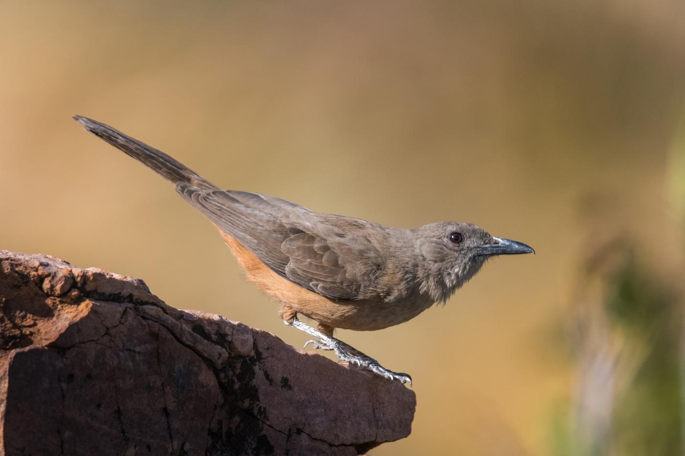 Sandstone Shrike-thrush