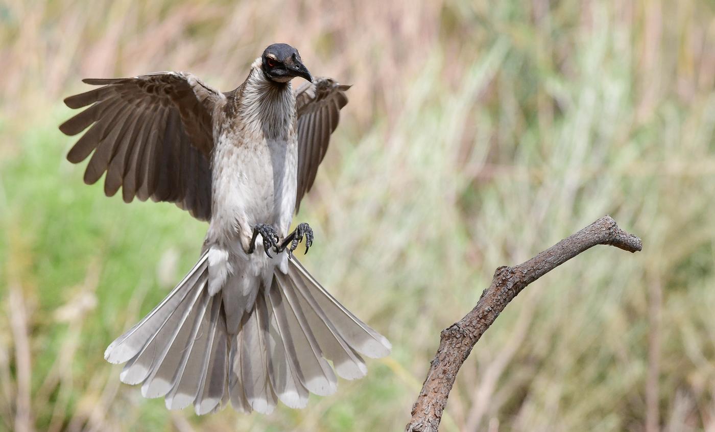 Helmeted Friarbird (Image ID 27997)