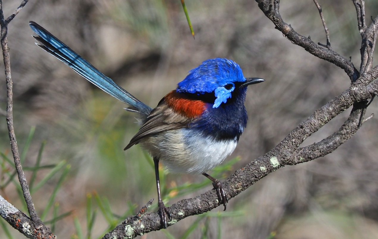 Blue-breasted Fairy-wren