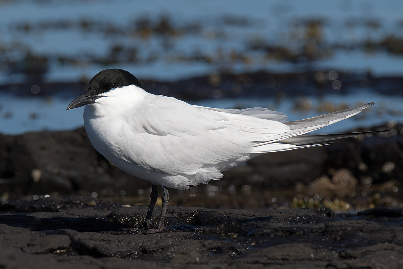 Australian Gull-billed Tern