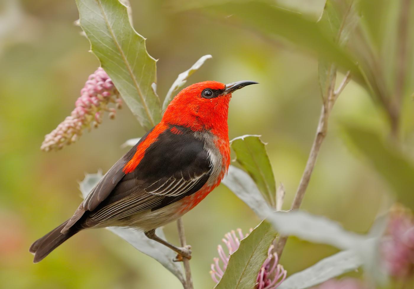 Scarlet Honeyeater (Image ID 27952)