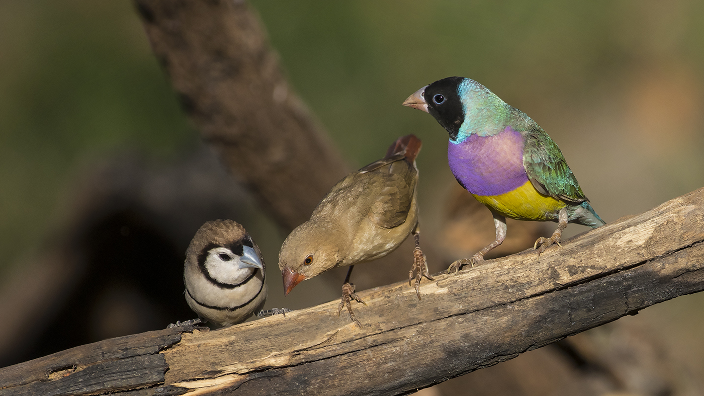Double-barred Finch, Gouldian Finch, Star Finch