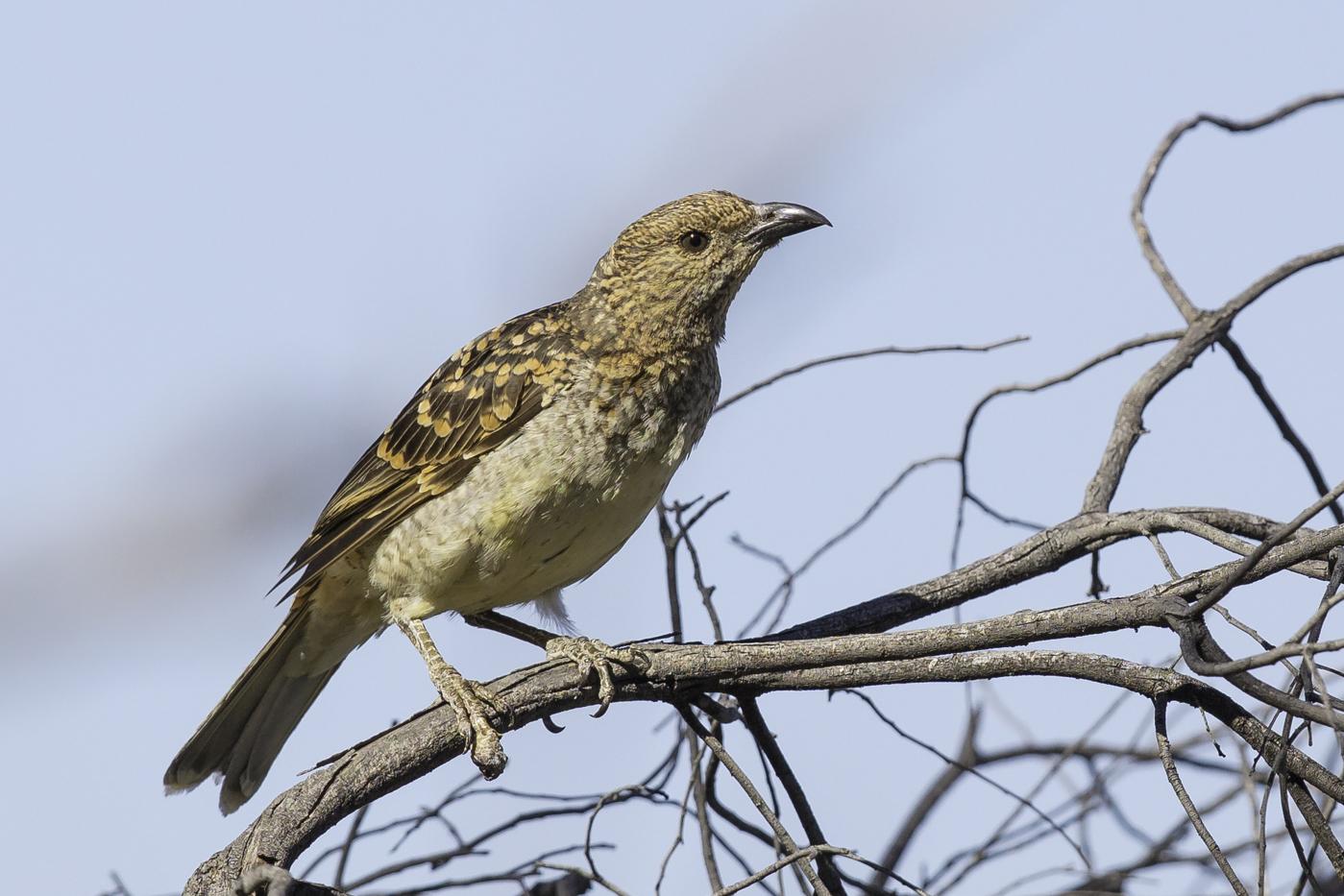 Spotted Bowerbird