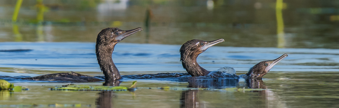 Little Black Cormorant (Image ID 27740)