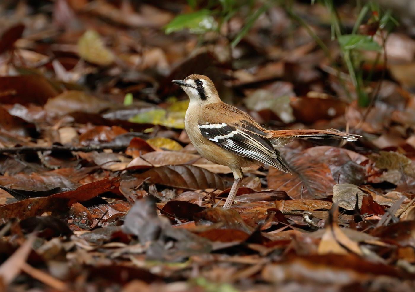 Northern Scrub-robin (Image ID 28063)