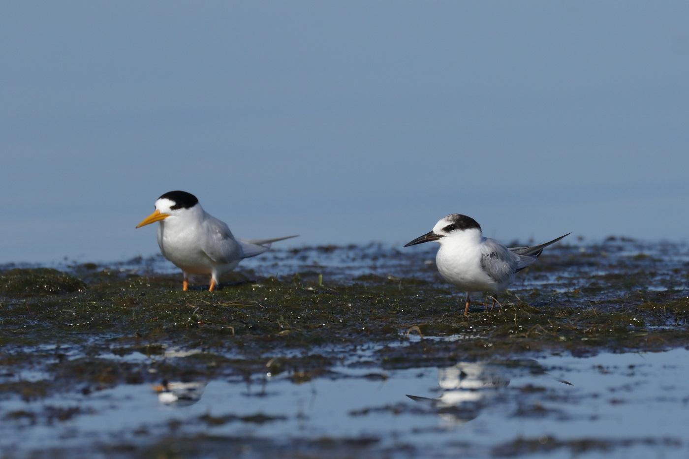 Fairy Tern, Little Tern