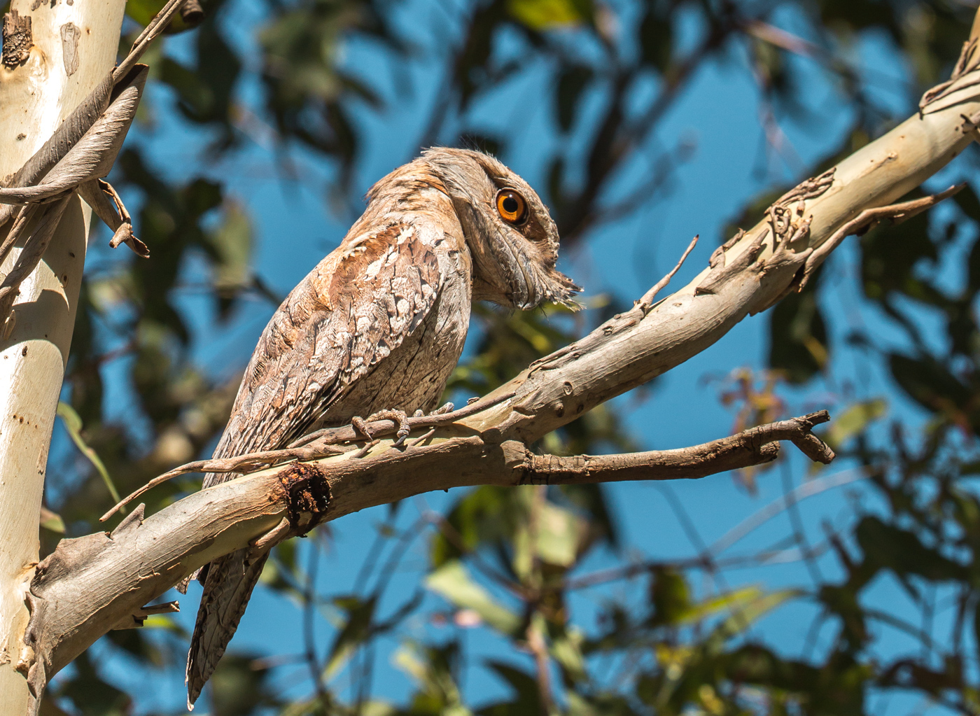 Tawny Frogmouth (Image ID 28520)