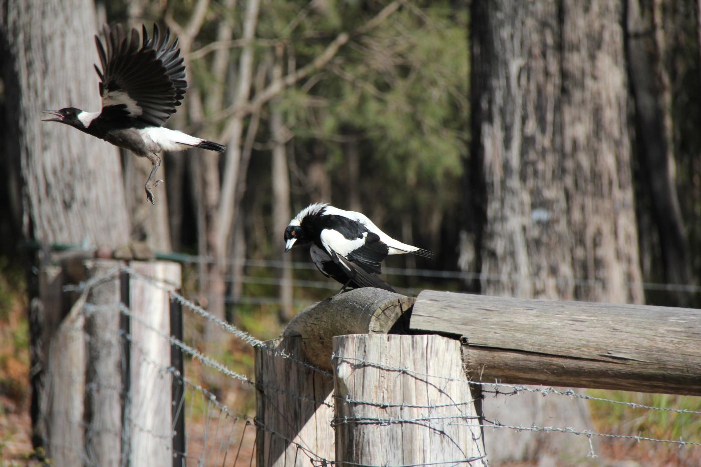 Australian Magpie (Image ID 28443)