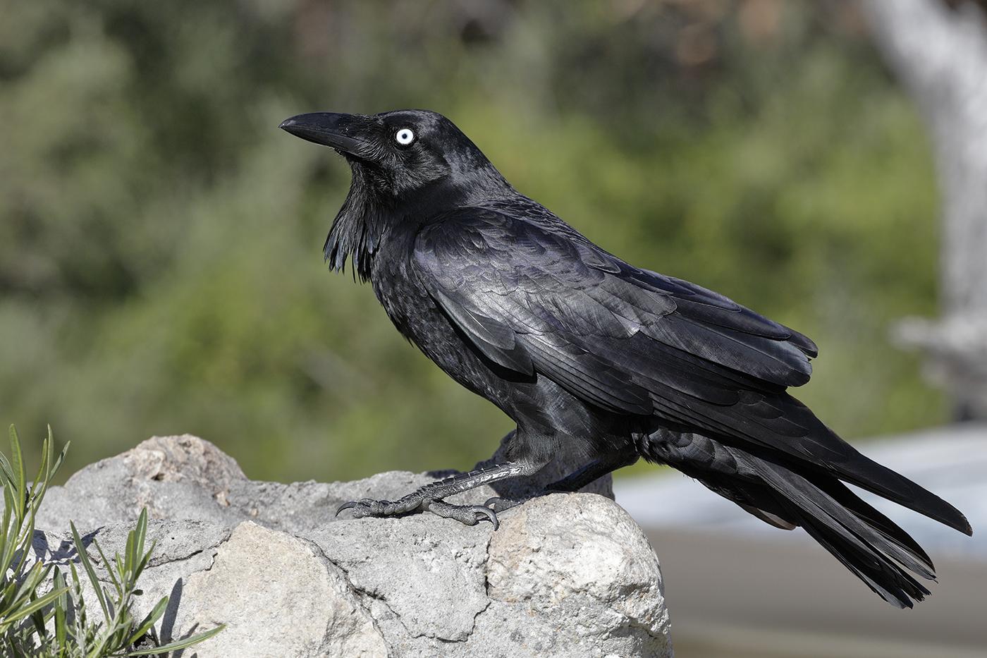 Australian Raven (Image ID 28472)