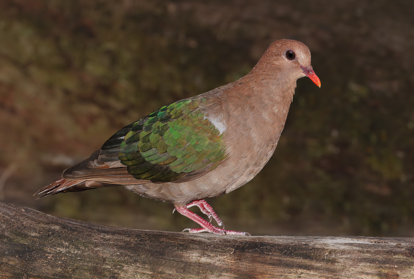 Brown-capped Emerald-Dove (Image ID 28582)