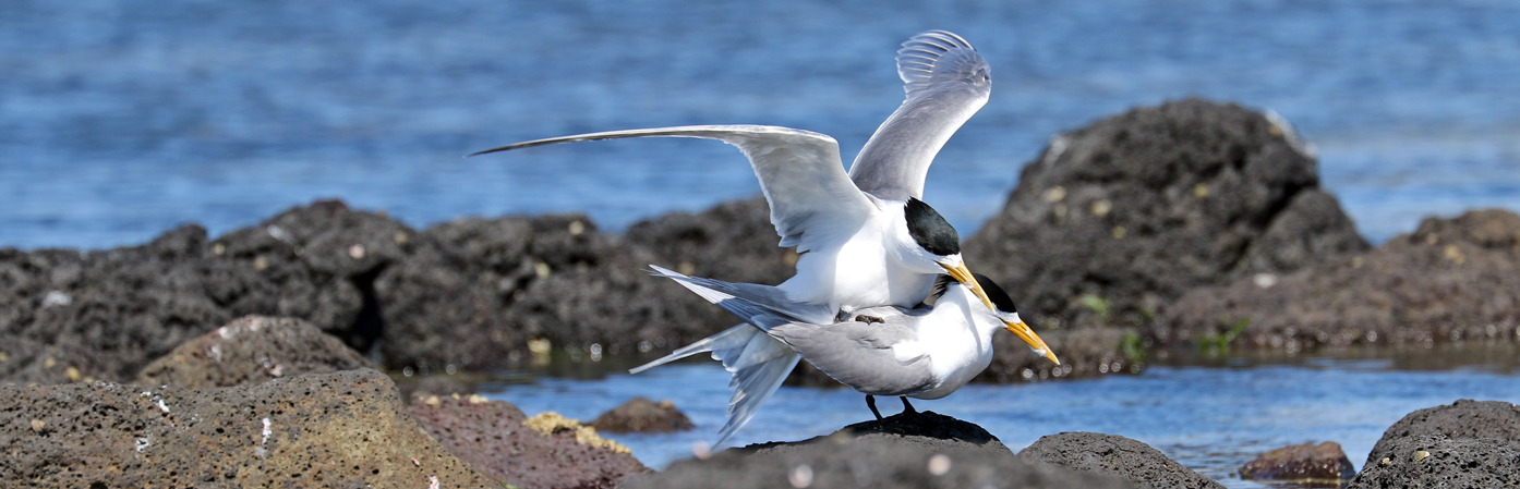 Crested Tern (Image ID 28120)