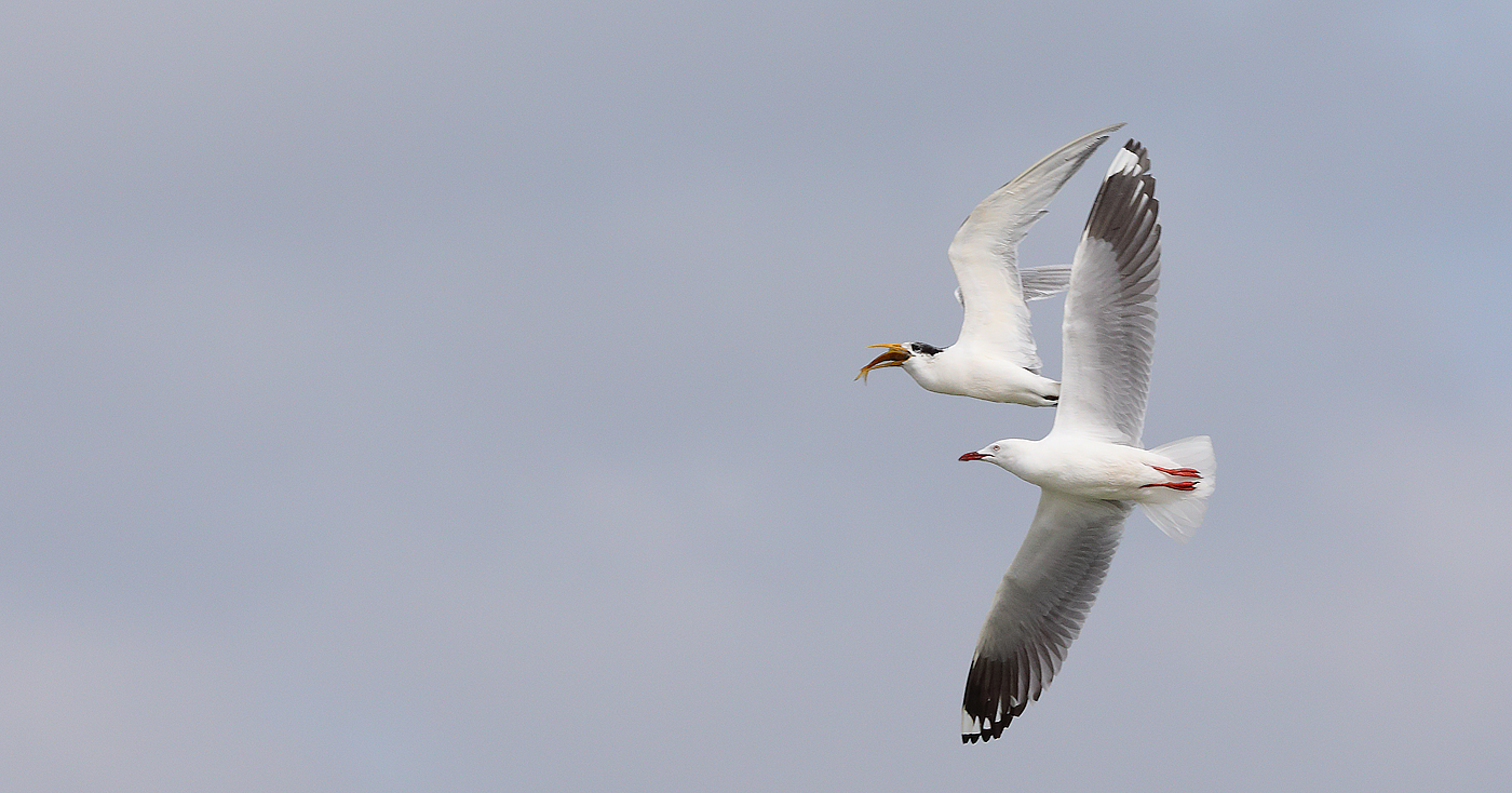 Lesser Crested Tern, Silver Gull