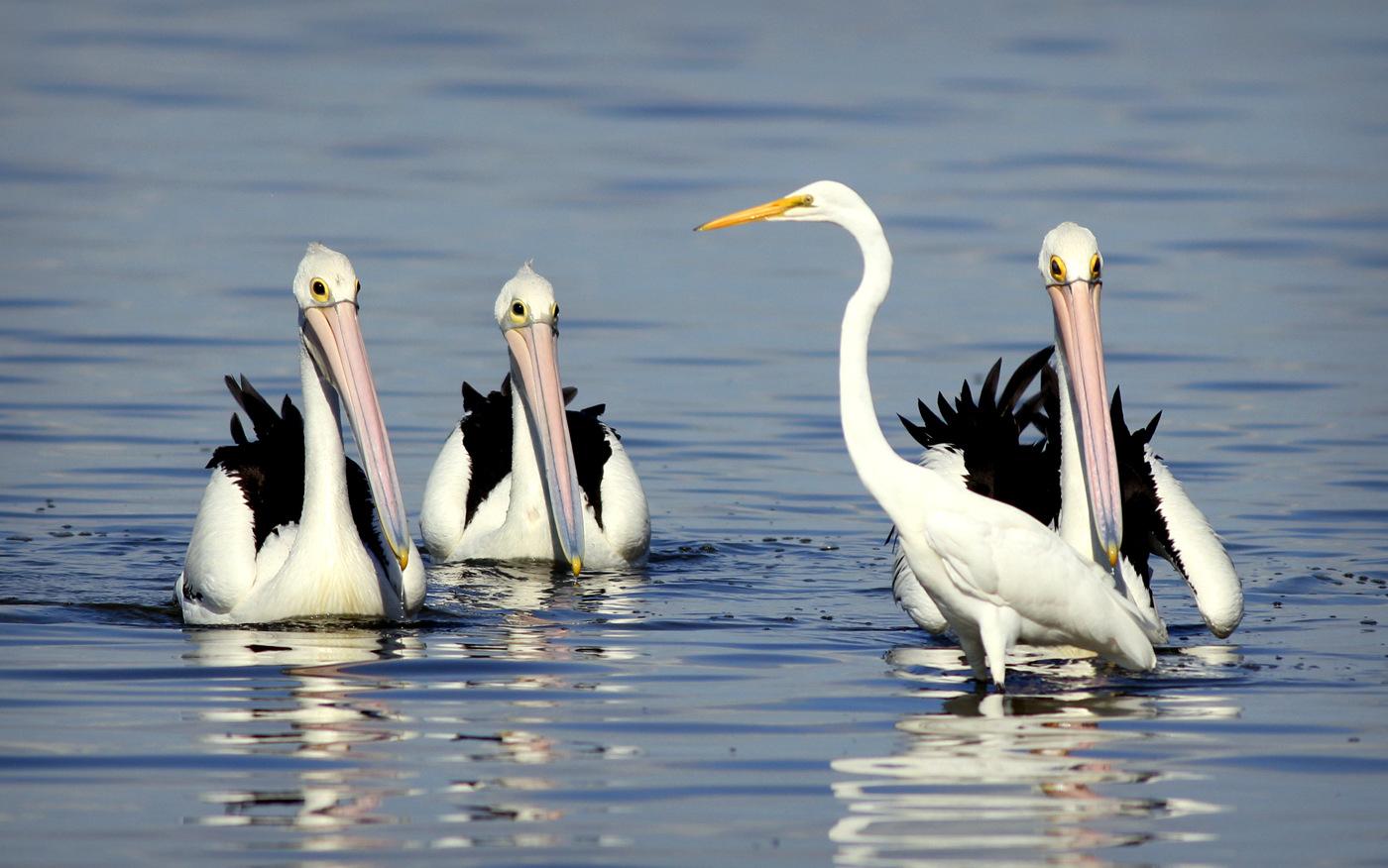 Australian Pelican, Great Egret