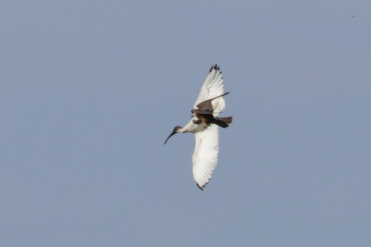 Australian Hobby, Australian White Ibis