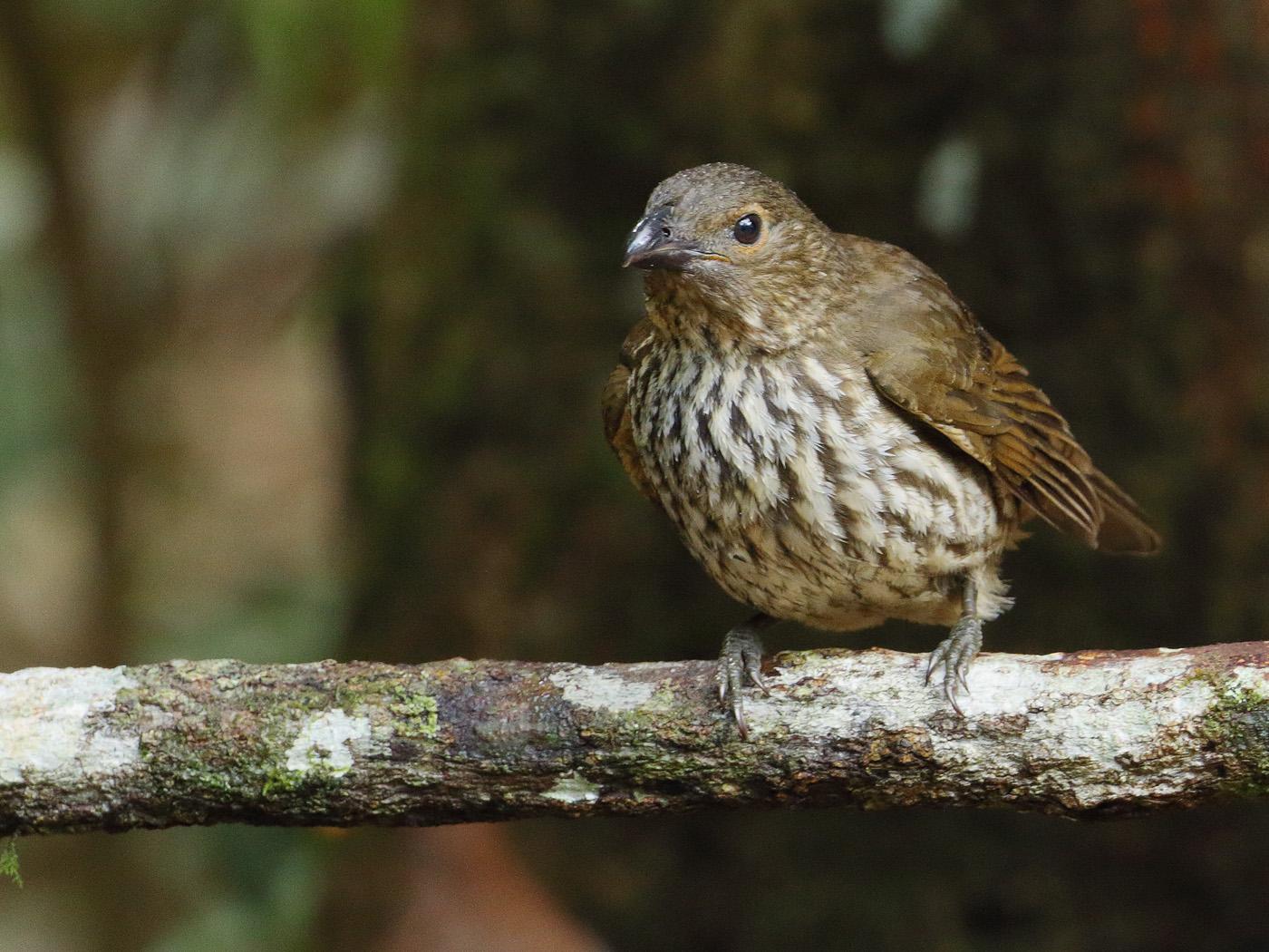Tooth-billed Bowerbird