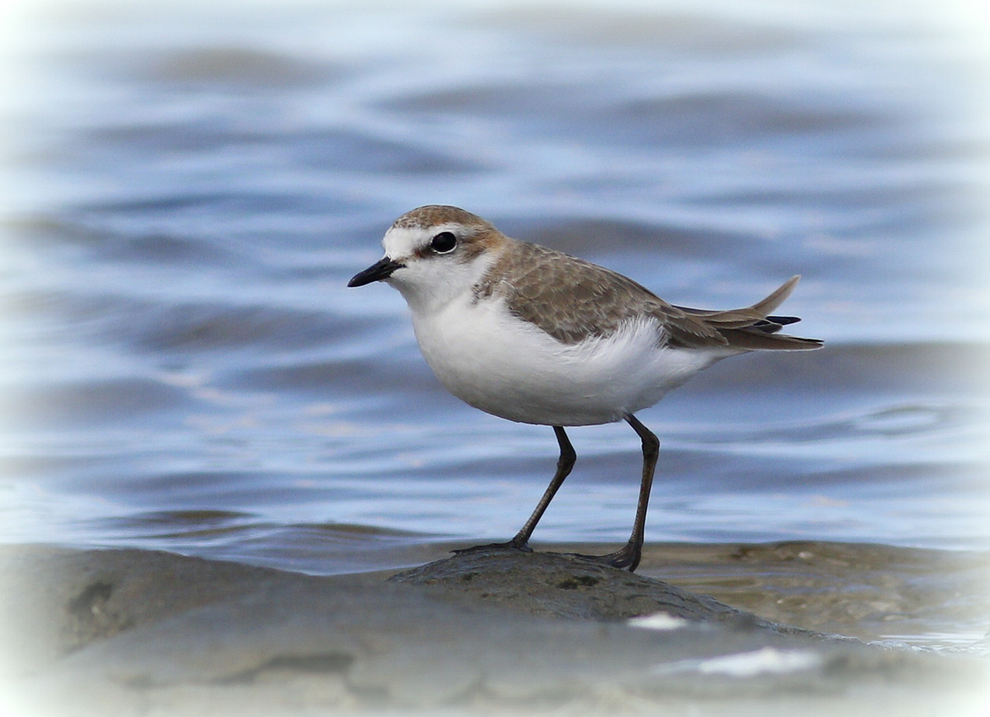 Red-capped Plover