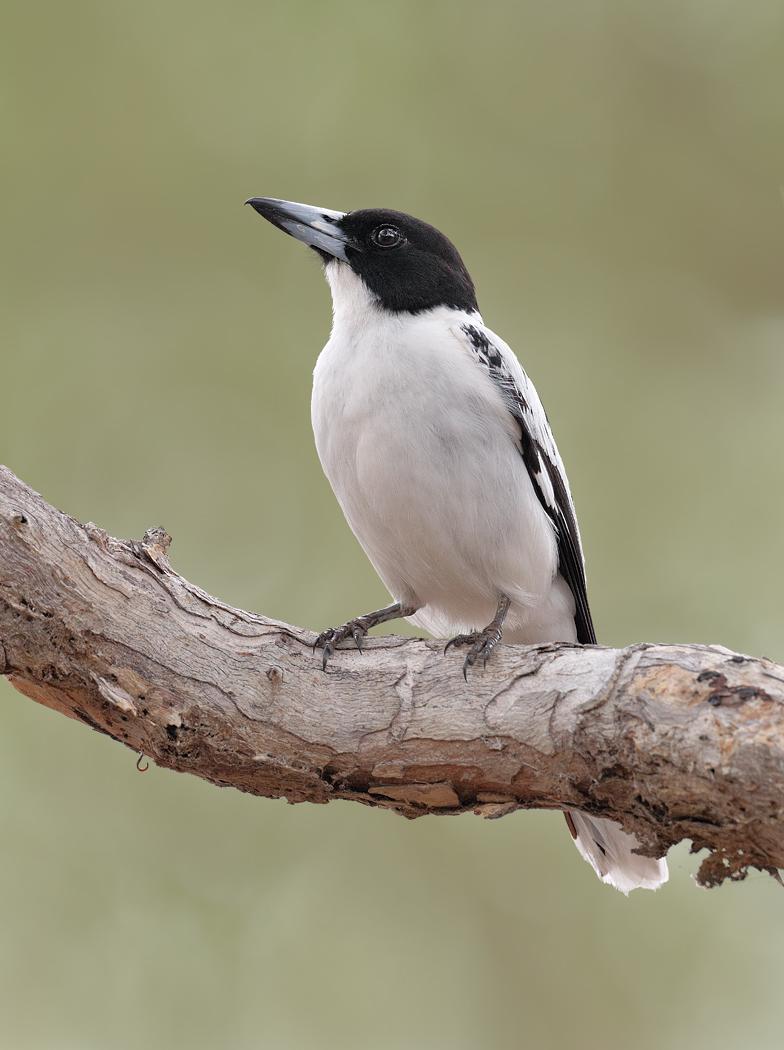 Black-backed Butcherbird