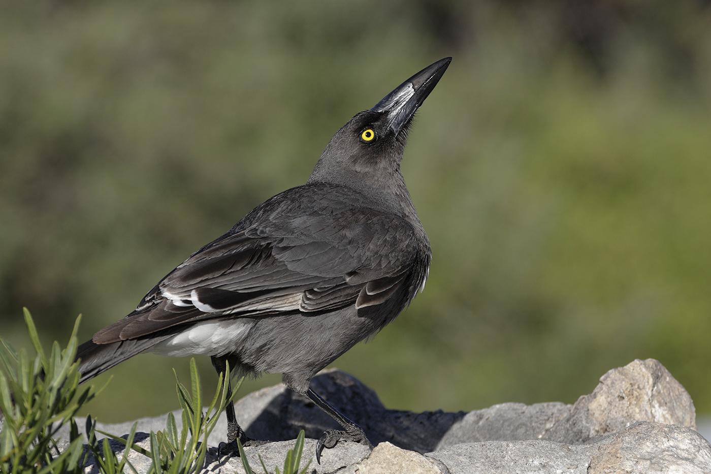 Grey Currawong (Image ID 28471)