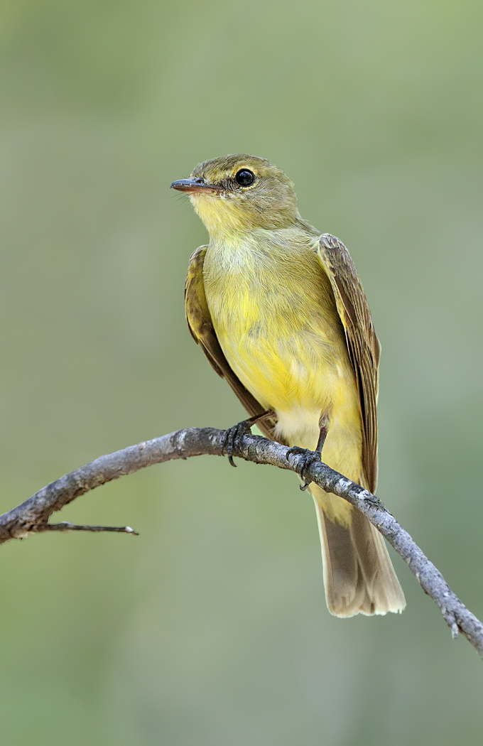 Lemon-bellied Flycatcher