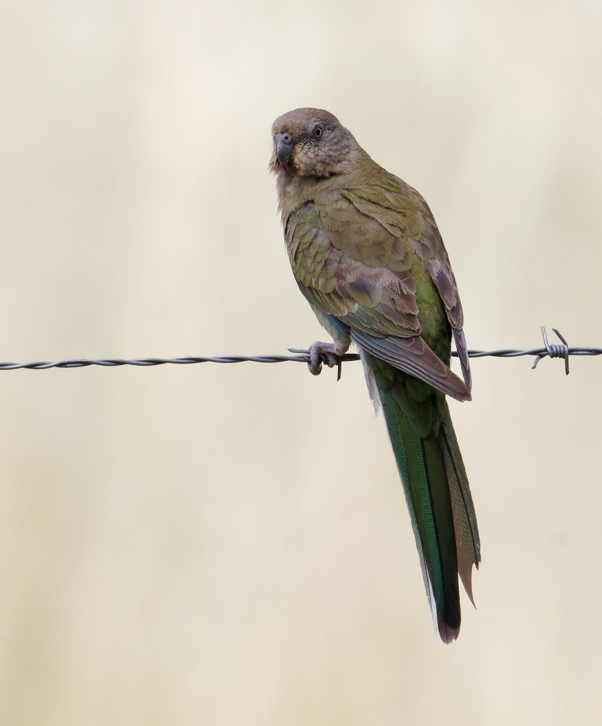 Red-rumped Parrot (Image ID 28698)