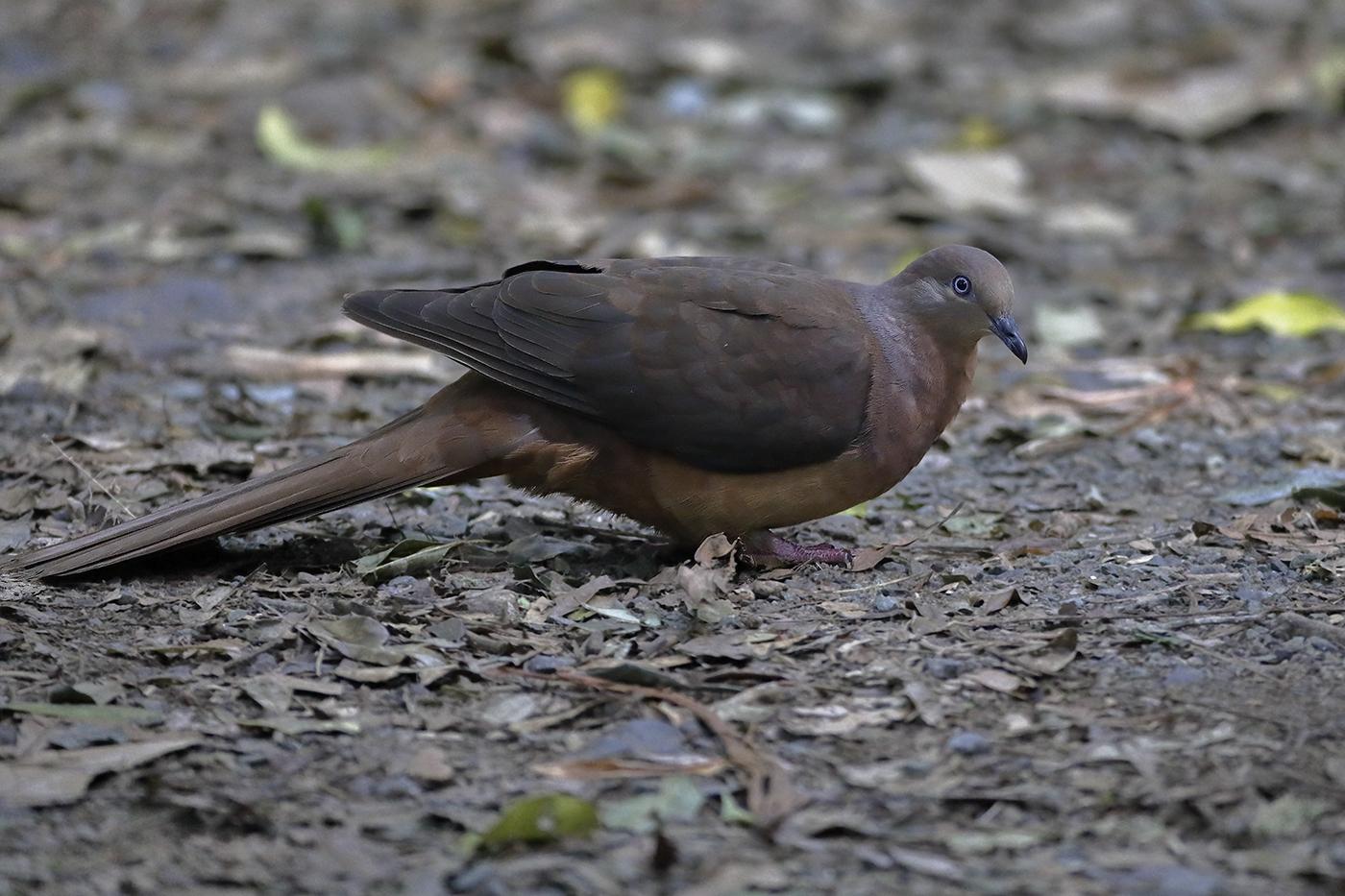 Brown Cuckoo-Dove (Image ID 28873)