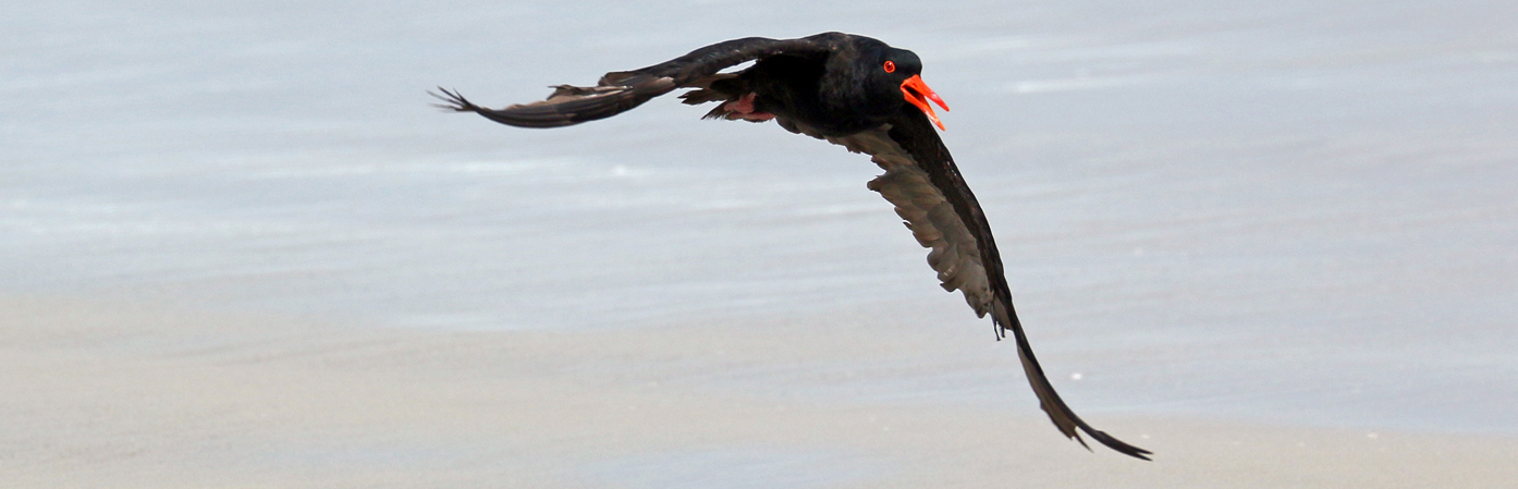 Sooty Oystercatcher (Image ID 28649)