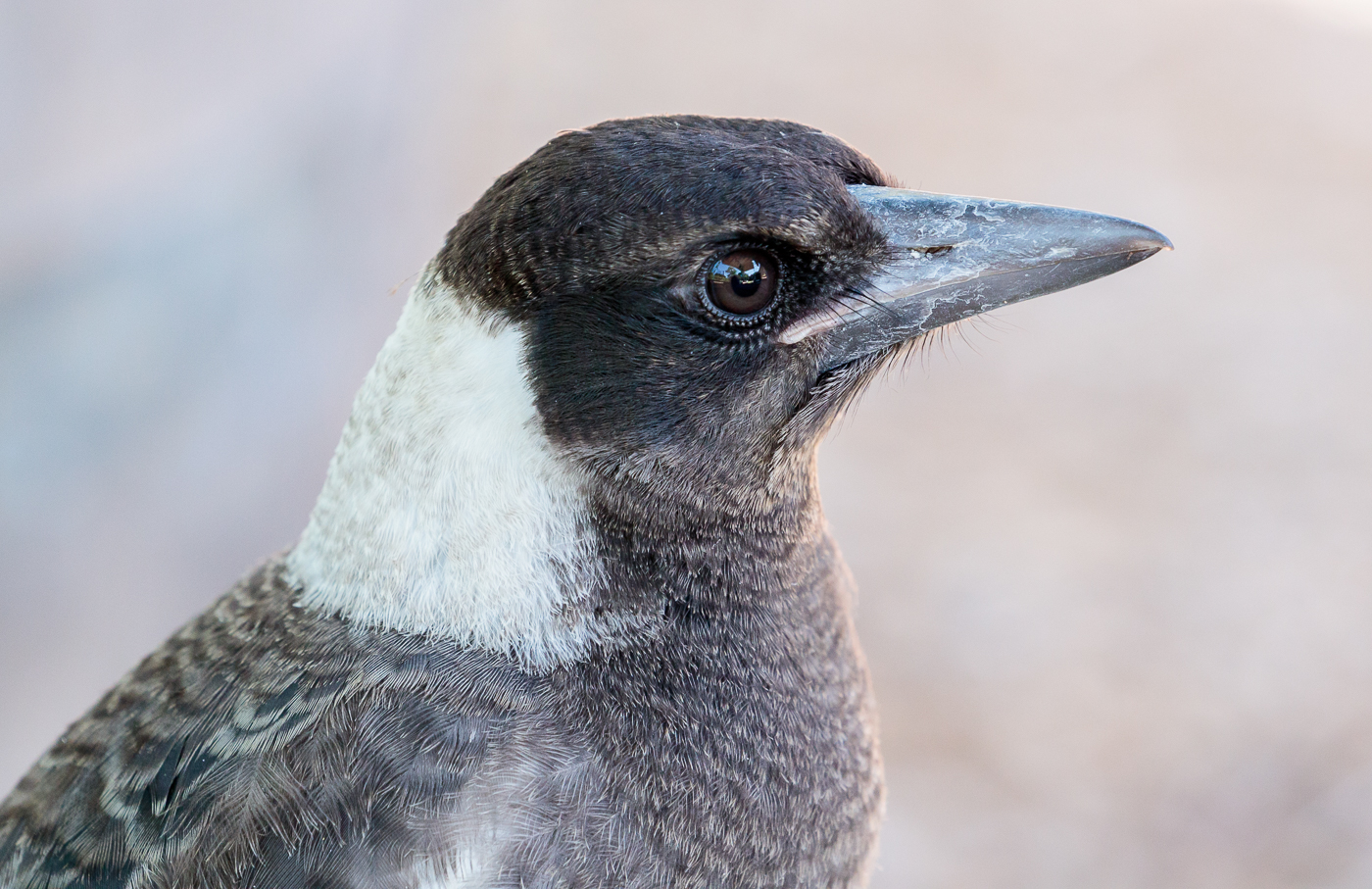 Australian Magpie (Image ID 28697)