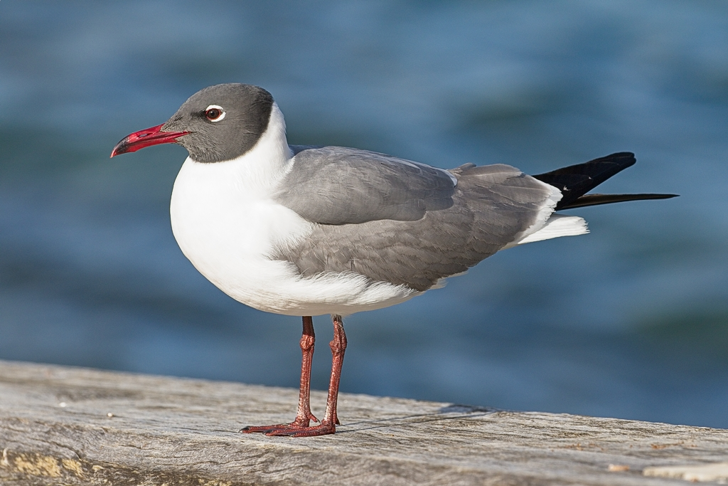 Laughing Gull (Image ID 28725)