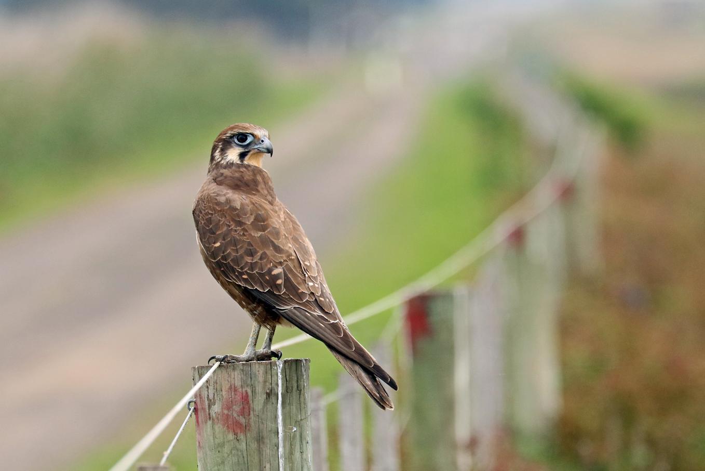Brown Falcon (Image ID 28774)