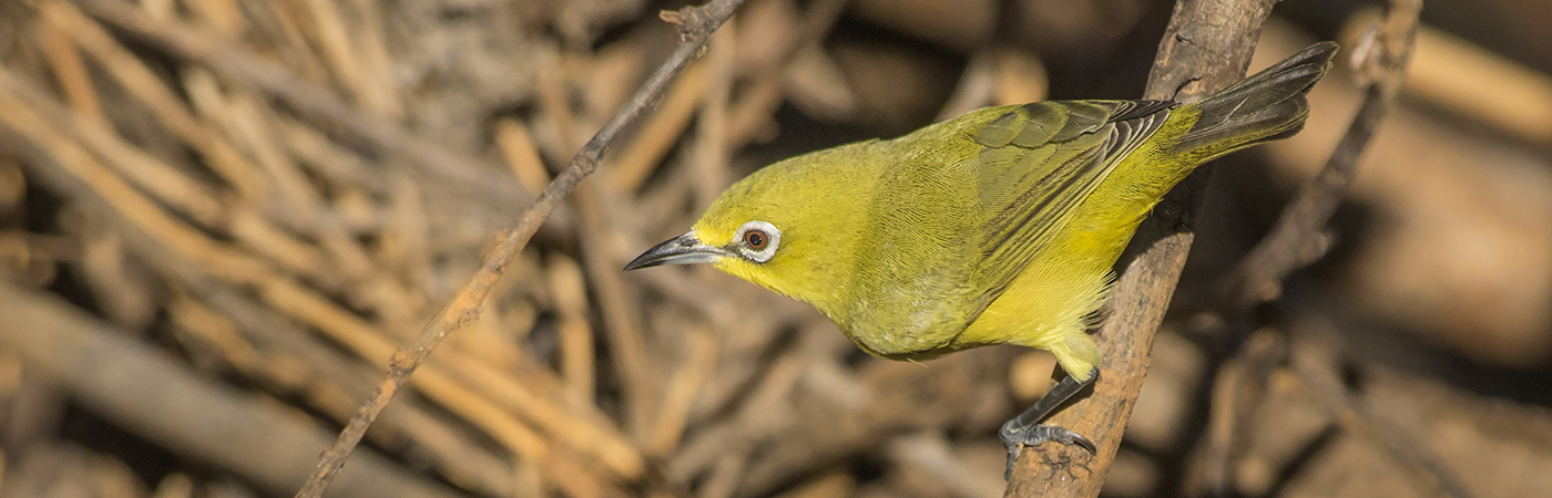 Yellow White-eye (Image ID 28711)