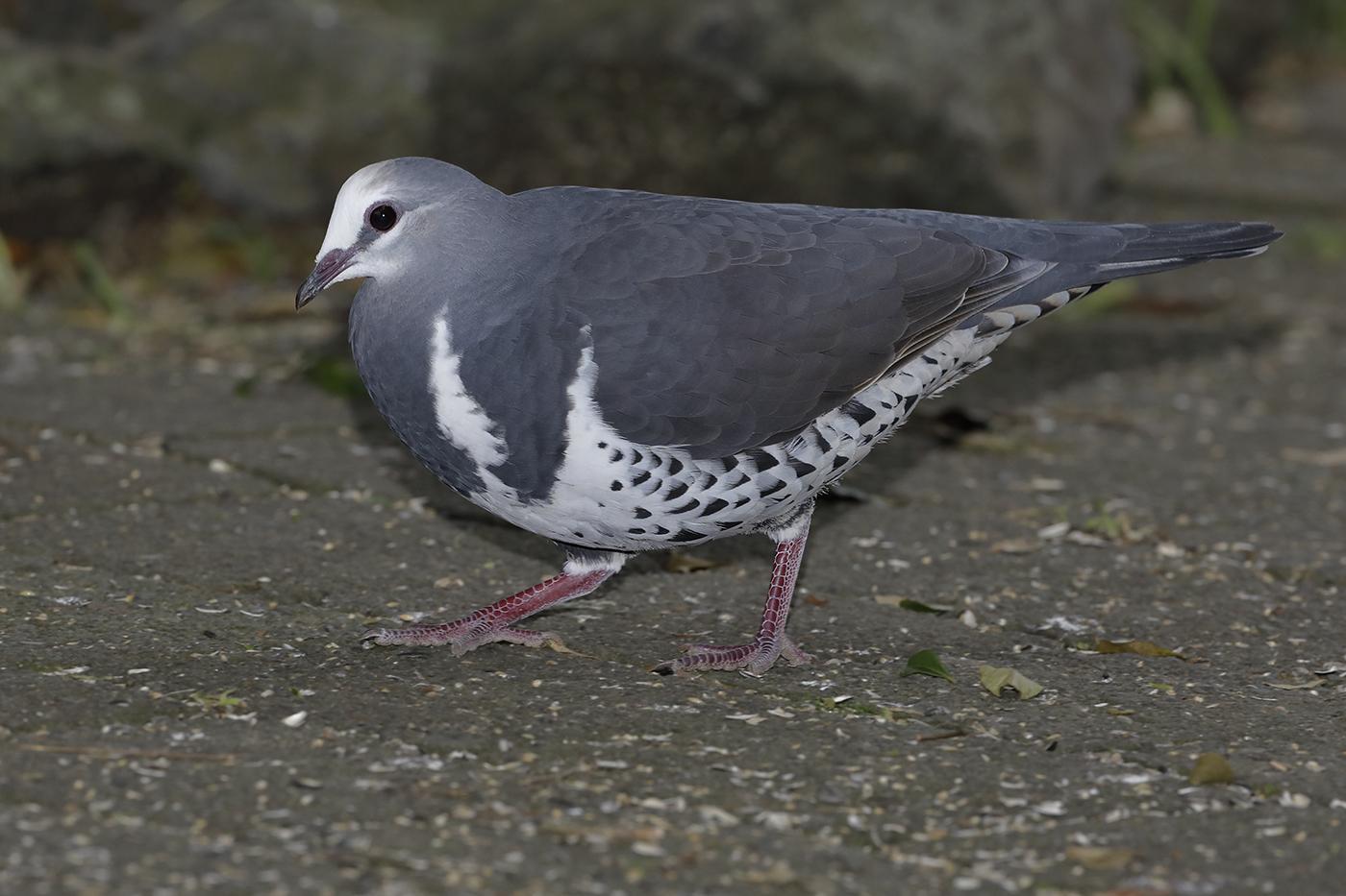 Wonga Pigeon (Image ID 28833)