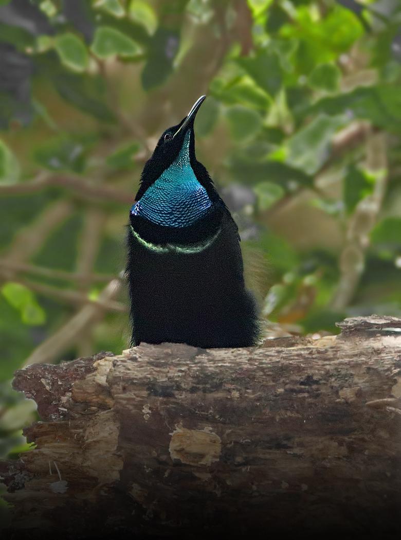 Magnificent Riflebird (Image ID 28782)