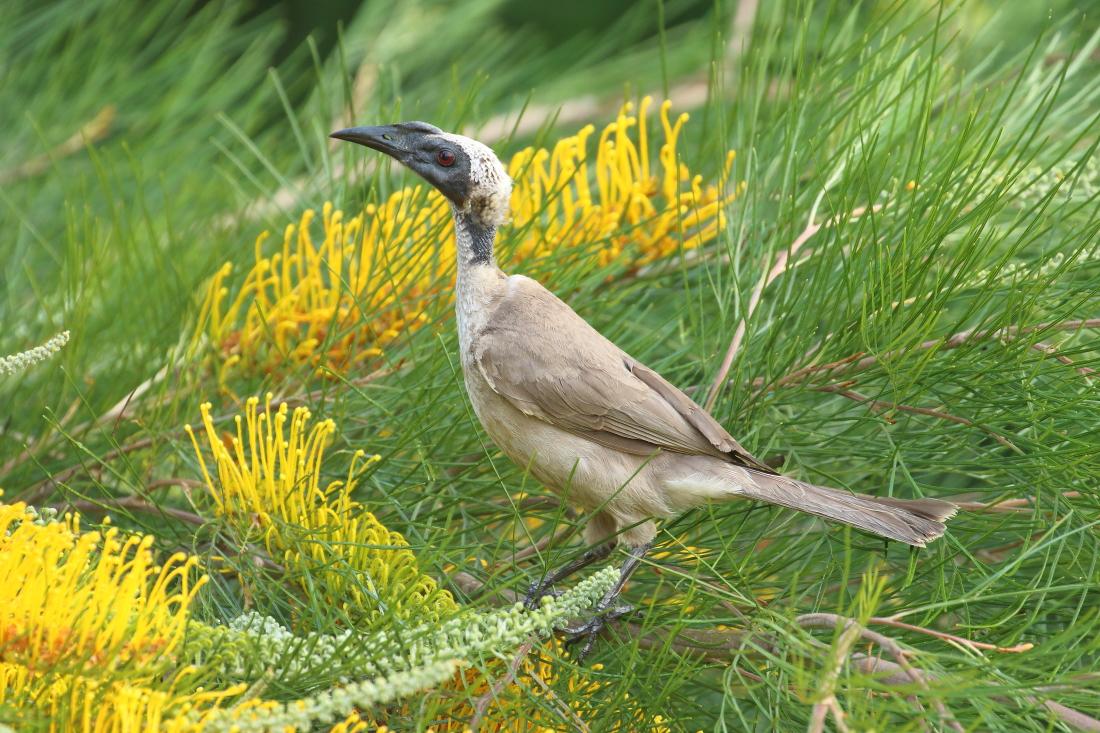 Helmeted Friarbird (Image ID 28752)