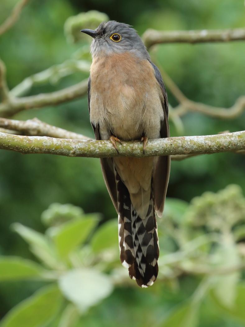 Fan-tailed Cuckoo (Image ID 28847)