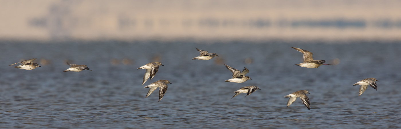 Bar-tailed Godwit, Grey Plover
