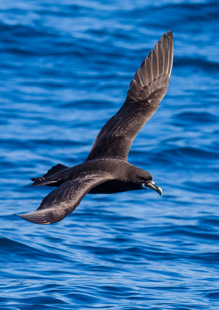 White-chinned Petrel (Image ID 28883)