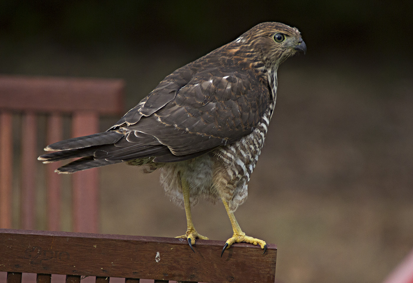 Collared Sparrowhawk (Image ID 28631)