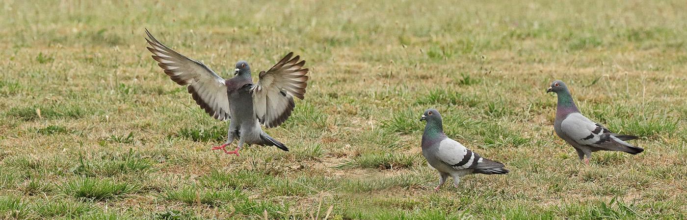 Rock Dove (Image ID 28929)