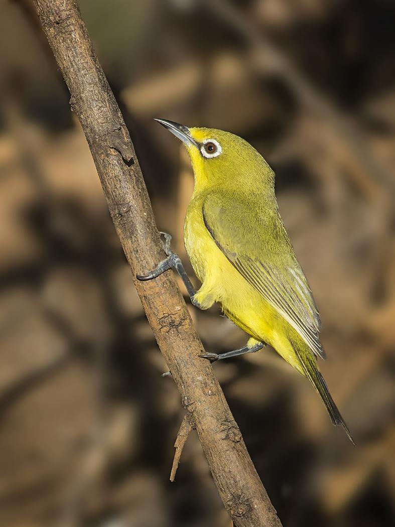 Yellow White-eye