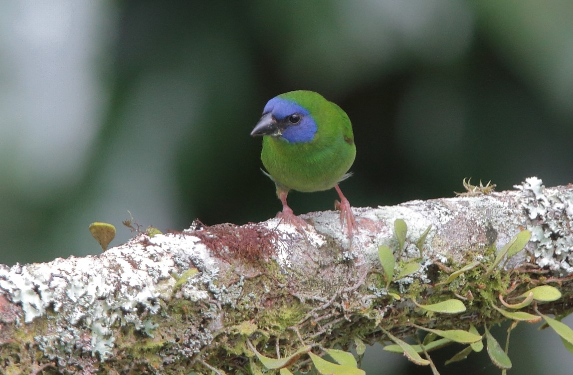Blue-faced Parrot-Finch