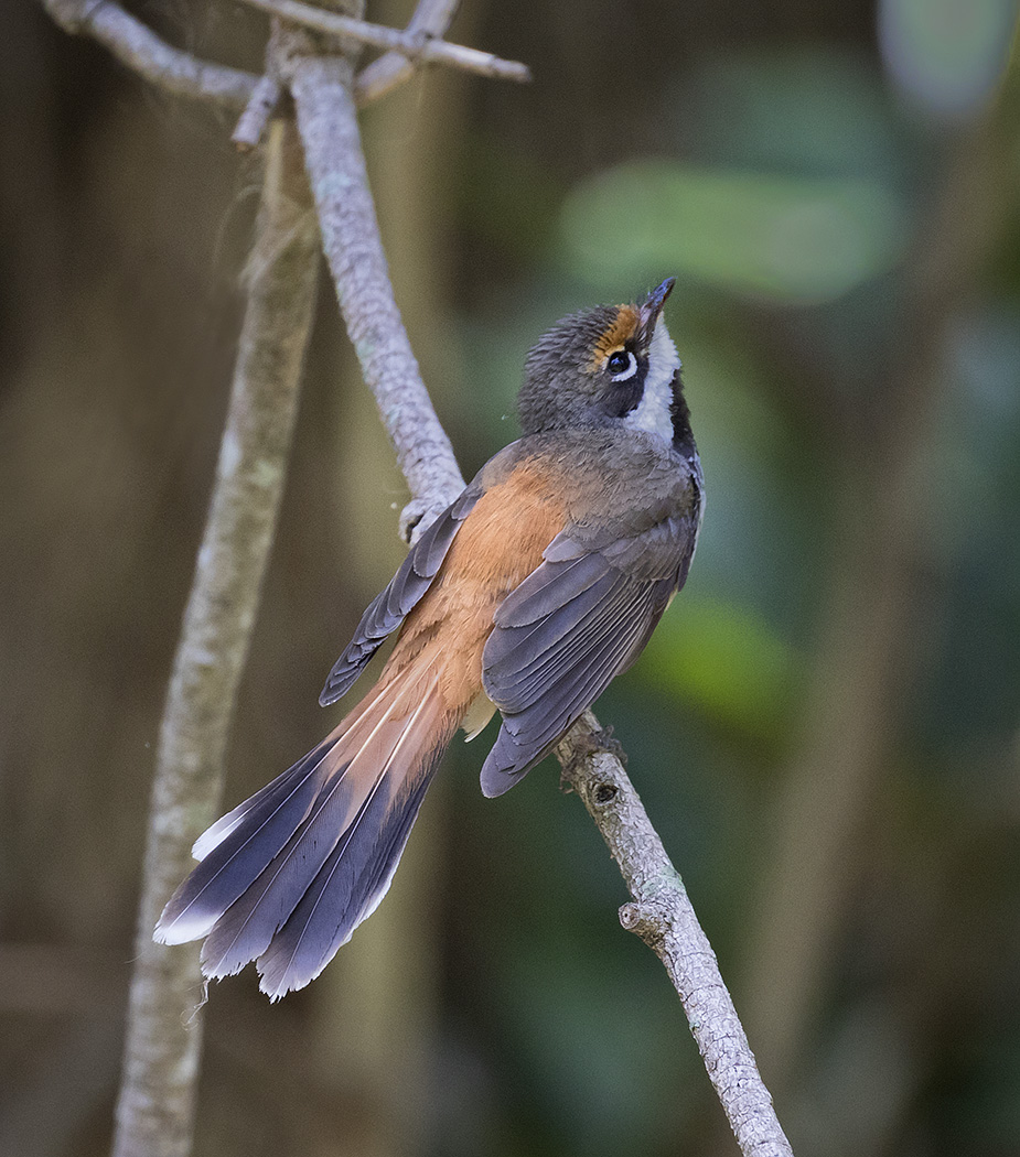 Rufous Fantail (Image ID 28761)