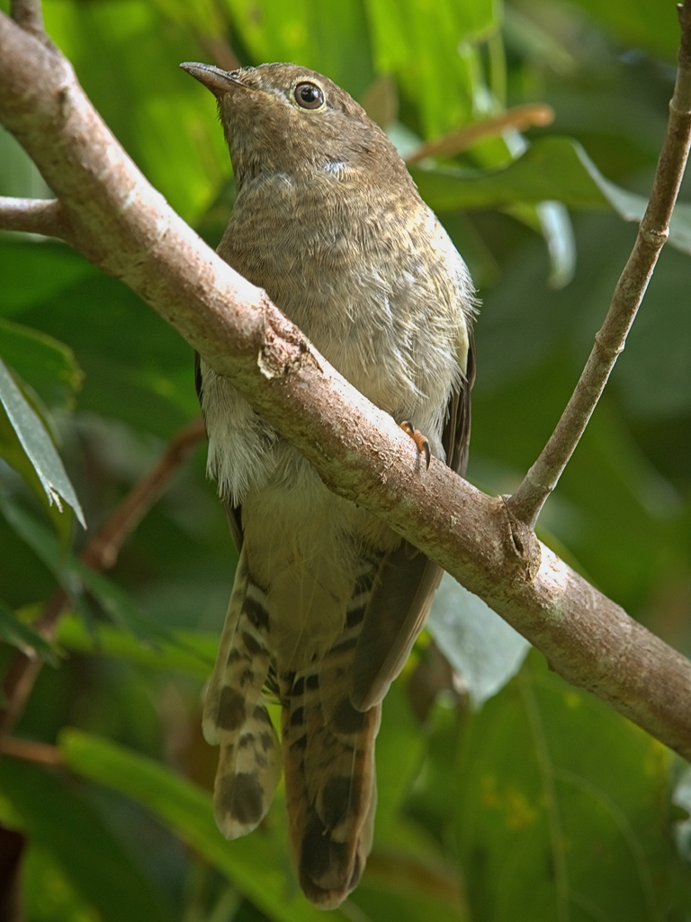 Chestnut-breasted Cuckoo (Image ID 28771)