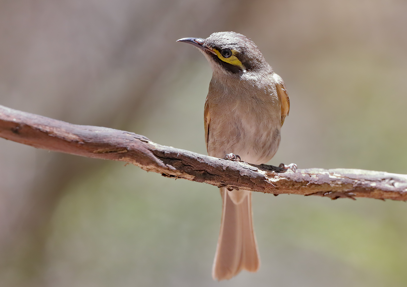 Yellow-faced Honeyeater (Image ID 28915)