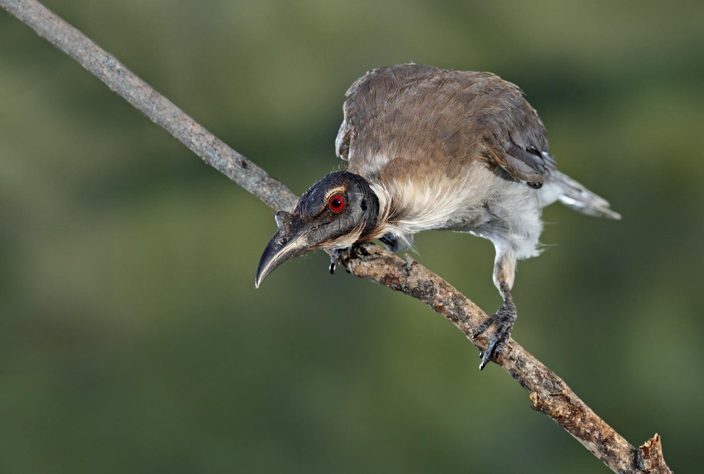 Noisy Friarbird (Image ID 28766)